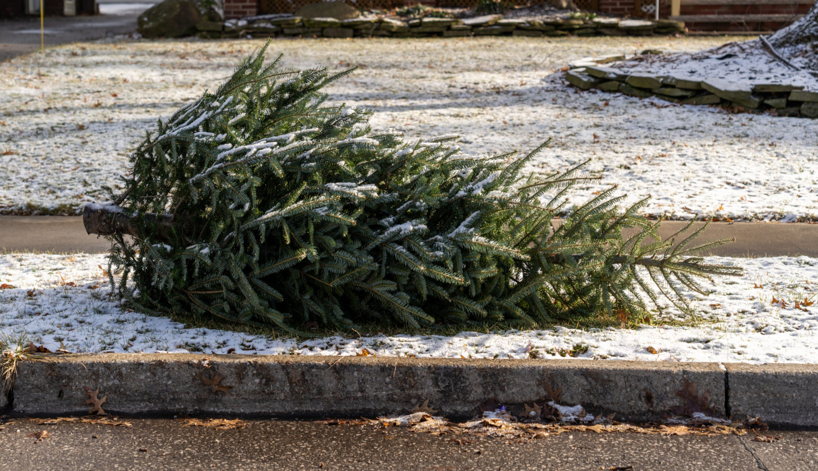 A picture of a live Christmas tree left on the curb for recycling. LCA